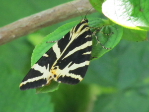 Jersey Tiger Moth, St. Lawrence, IOW