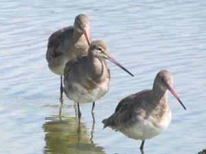 Godwits, The Causeway, Freshwater