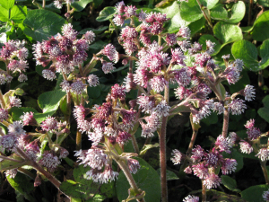 Winter Heliotrope, Isle of Wight