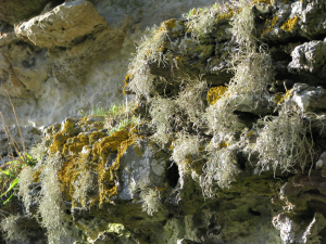 2 Lichens, the Undercliff, Isle of Wight