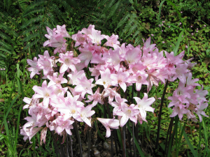 Belladonna Lily, roadside plant in the Azores