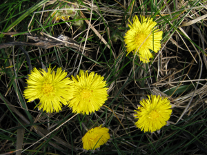 Coltsfoot, Binnel Bay, Isle of Wight
