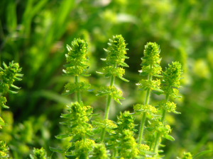 Crosswort, Binnel Bay, Isle of Wight
