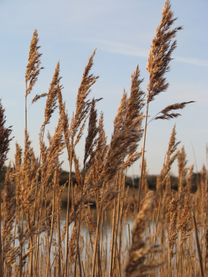 Common Reed, Afton Marsh, Isle of Wight