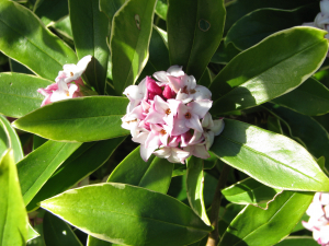Winter Daphne- very fragrant garden shrub