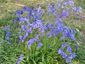Bluebells, St. Boniface Down, Isle of Wight