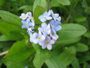 Forget -me -not- Stenbury Down, Isle of Wight