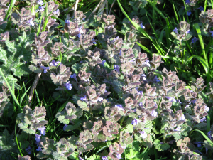 Ground Ivy, nr. St. Catherines Lighthouse,Isle of Wight