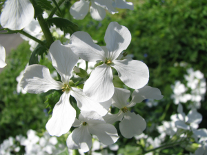 White Honesty, Silver Dollar or Penny Flower