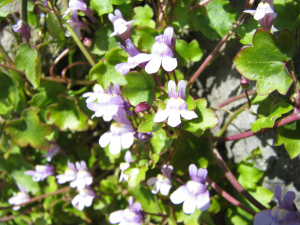 Ivy Leaved Toadflax, local name Roving Sailor,Roving Jenny