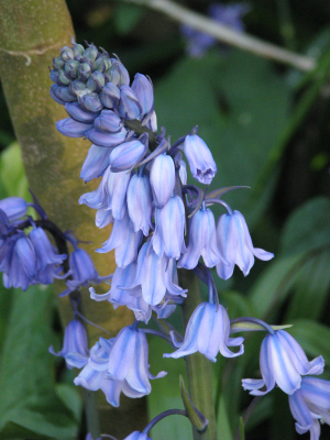 Bluebell x Spanish Bluebell The Undercliff, Isle of Wight