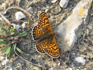 My first Glanville Fritillary this year!