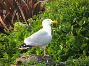 Herring Gull, Ventnor Seafront