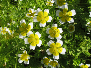 Meadow-foam or Poached Egg Plant
