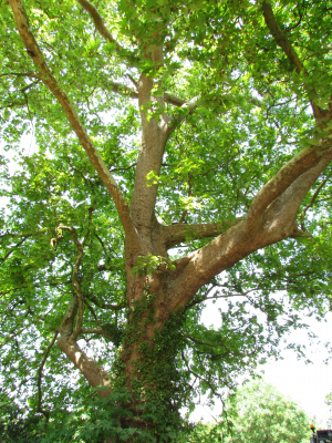 Oriental Plane- Ashengrove Farm, Isle of Wight