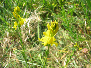 Dyer's Greenweed, Ashengrove Farm Isle of Wight