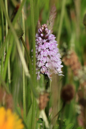 Common spotted orchid?