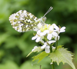 Female Orange Tip spp 'Britannicus'