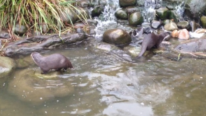 Asian Short-clawed Otter (Aonyx cinerea)