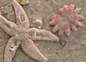Is the one on the right a starfish too?