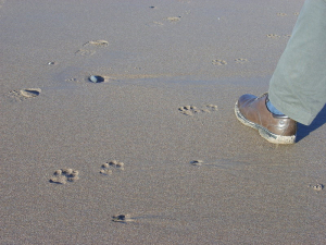 mystery paw prints on the beach