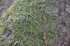 Moss on norway spruce