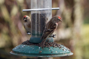 Redpolls - but what type?