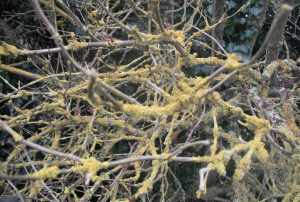 Xanthoria foliose lichen tree covered!
