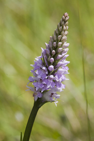 Orchid for id Simonside Northumberland 23rd June 2014 1
