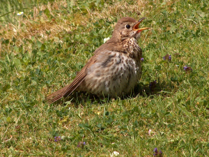 Young song thrush?