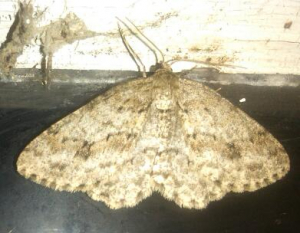 Engrailed 1st Generation.