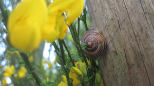 Banded Snail