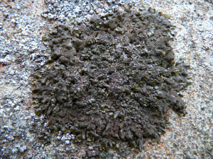 Brown foliose lichen