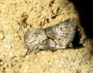 UNIDENTIFIED MOTH