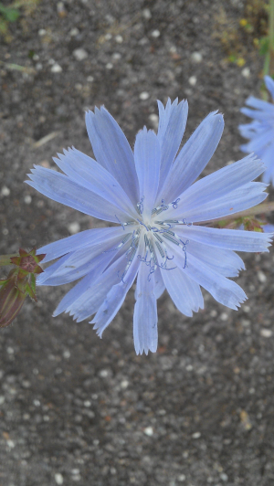 chicory or cornflower?