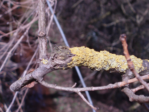 Lichen on old tree branch
