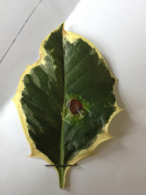 What's this leaf black spot caused by?