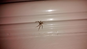 small house spider
