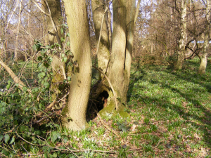 Hollow in ash tree