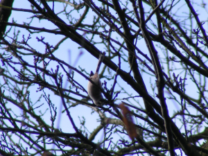 Long tailed tit in Kidney Wood