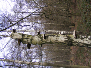 Birch fungi in Kidney Wood