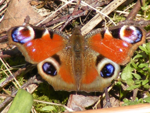 Peacock butterfly in Kidney Wood