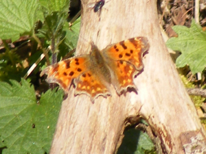 Comma butterfly in Kidney wood