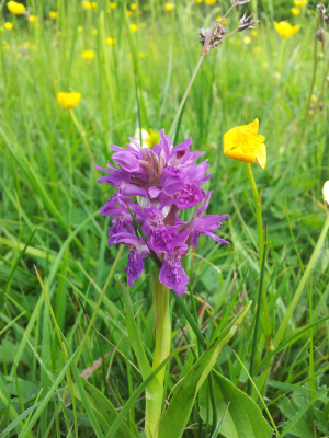 Northern marsh orchid?