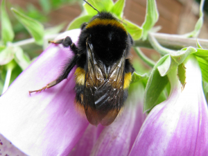 queen buff-tailed bumblebee - perhaps?