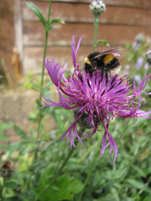 buff-tailed bumble bee on knapweed