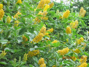 Yellow flowered shrub