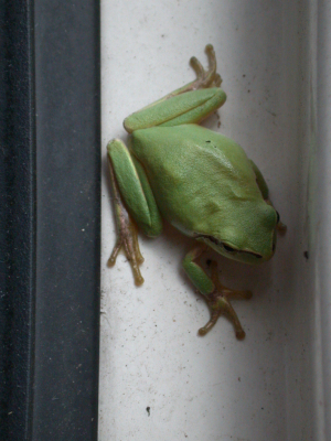 French Tree Frog
