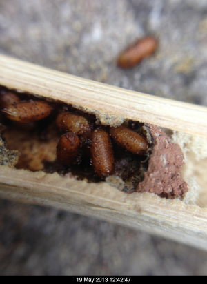 larvae in Red Mason bee nest