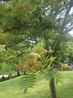 Large leaved tree in park